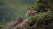 Female Golden eagle (Aquila chrysaetos) feeding its chick in a nest in a pine tree, Glen Tanar, Cairngorms National Park, Scotland, UK, June. - SCOTLAND: The Big Picture