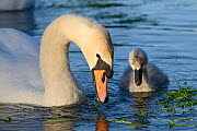 Mute swan (Cygnus olor) female and a young cygnet foraging in sunset light, Kennet and Avon canal, Caen Hill, Wiltshire, UK, June.  -  Nick Upton