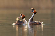 Great crested grebe (Podiceps cristatus cristatus) courtship dance,  Cardiff, UK, March.  -  Andy  Rouse