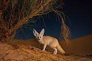 Fennec fox (Vulpes zerda) adult at night digging for prey among the roots of Retam broom shrub. Grand Erg Oriental, Kebili Governorate, Tunisia.  Taken with remote camera trap.  -  Bruno D'Amicis