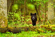 Wild boar (Sus scrofa) in old mixed conifer and broadleaf forest, Punia Forest Reserve,  Lithuania, May. - Staffan Widstrand