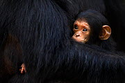 Eastern chimpanzee (Pan troglodytes schweinfurtheii) female 'Gremlin' aged 40 years holding female baby aged 2, her granddaughter. Gombe National Park, Tanzania. Gremlin took the new born baby from he... - Fiona Rogers