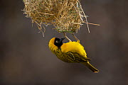 Lesser masked weaver (Ploceus intermedius) male at nest entrance, Northern Tuli Game Reserve, Botswana. - Neil Aldridge