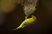 Lesser masked weaver (Ploceus intermedius) female hanging upside down from the entrance to its nest, Northern Tuli Game Reserve, Botswana. - Neil Aldridge