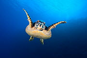 Hawksbill turtle (Eretmochelys imbricata) cruising along the drop off of a coral reef. Bloody Bay Wall, Little Cayman, Cayman Islands. Caribbean Sea. NB. Turtle has two identification tags in its fron...  -  Alex Mustard