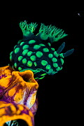 Nudibranch (Nembrotha cristata) climbing on a Tunicate (Polycarpa aurata) at night. This species of seaslug feeds on seasquirts. A tiny cyclopoid copepod swimming past. Yillet Yecil, Yillet Islands, M... - Alex Mustard