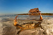 Mud crab (Scylla serrata) in shallow sandy water. Split level with island and thatched house on stilts. Moromahu Island, Wakatobi, South Sulawesi, Indonesia. Second Place in the Portfolio Award of the... - Jurgen Freund
