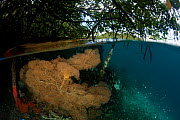 Gorgonian fan coral (Gorgonaceae) in the shallow mangroves, split level. North Raja Ampat, West Papua, Indonesia. Second Place in the Portfolio Award of the Terre Sauvage Nature Images Awards Competit... - Jurgen Freund