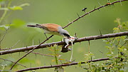 Male Red backed shrike (Lanius collurio) feeding on a mouse at its larder, France, June. - Dave Watts