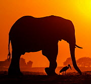 African elephant (Loxodonta africana) silhouetted at sunset with African openbill (Anastomus lamelligerus) Chobe National Park, Botswana. - Klein & Hubert