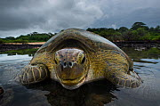 Green Turtle (Chelonia mydas) returning to sea, Bissagos Islands, Guinea Bissau. Endangered species.  3rd Place in the SOS Especes Menacees / SOS Endangered Species Portfolio category of the Terre Sau... - Pedro  Narra