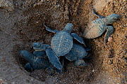 Green turtle (Chelonia mydas) hatchlings emerging from nest,  Bissagos Islands, Guinea Bissau. Endangered species. 3rd Place in the SOS Especes Menacees / SOS Endangered Species Portfolio category of... - Pedro  Narra