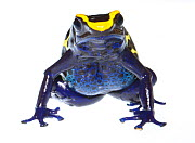 Dyeing poison frog (Dendrobates tinctorius) captive, occurs in Guiana, Suriname, Brazil, and French Guiana. Meetyourneighbours.net project  -  MYN / JP Lawrence