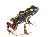 Lovely poison frog (Phyllobates lugubris) male with a tadpole, Isla Colon, Panama, June. Meetyourneighbours.net project  -  MYN / JP Lawrence