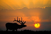 Elk (Cervus canadensis) bull in velvet silhouetted against a setting sun, Yellowstone National Park, Wyoming, USA, May. - Jeff Vanuga