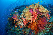 Colourful reef scene with Leather corals (Sarcophyton sp.), Soft corals (Dendronephthya sp.) Seafans (Melithea sp.) and fish, including Magenta slender anthias (Luzonichthys waitei) and Scalefin anthi... - Alex Mustard