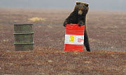Young female Kamchatka brown bear (Ursus arctos beringianus) playing with oil drum, Kronotsky Nature Reserve, Kamchatka, Far East Russia. May. These bears can develop addiction to sniffing the aviatio...  -  Igor  Shpilenok
