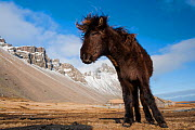 Young Icelandic horse near Stokkness, Iceland, March. - Niall Benvie