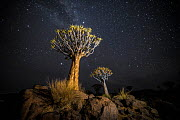 Quiver trees (Aloe dichotoma) with the Milky Way at night, Keetmanshoop, Namibia. Colours accentuated digitally. - Wim van den Heever