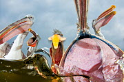 Dalmatian pelicans (Pelecanus crispus) low angle perspective of open bills whilst feeding, Lake Kerkini, Greece, February. - Bence  Mate