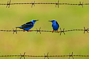 Red-legged honeycreeper (Cyanerpes cyaneus) two males on barbed wire. Costa Rica.  -  Bence  Mate