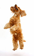 Golden Cocker Spaniel dog, Henry, age 3 years, jumping up. - Mark Taylor