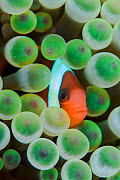 Red and black anemonefish (Amphiprion melanopus) in a Bulb tentacle sea anemone (Entacmaea quadricolor). Kri Island, Raja Ampat, West Papua, Indonesia, South East Asia. Dampier Strait, Tropical West P... - Alex Mustard