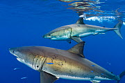 Great white sharks (Carcharodon carcharias) males beneath the surface. Guadalupe Island, Baja California, Mexico. East Pacific Ocean - Alex Mustard