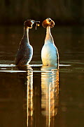 Great crested grebes (Podiceps cristatus) pair in courtship 'weed dance' in morning light, Wales, UK, February.  -  Andy  Rouse