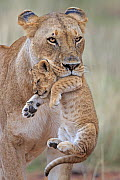 African Lion (Panthera leo) female carrying young cub. Masai Mara, Kenya, Africa. August.  -  Andy  Rouse
