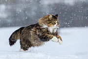 Domestic Tabby and white semi-longhaired cat (Felis silvestris catus) running in snow, France. - Klein & Hubert