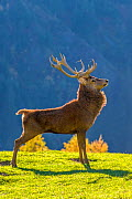 Red deer (Cervus elaphus) stag stretching on alpine meadow in autumn with spider web between antlers, Germany Captive. - Klein & Hubert
