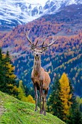 Red deer (Cervus elaphus) stag in autumn mountain landscape, Switzerland Captive. - Klein & Hubert