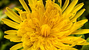 Close-up timelapse of a Common dandelion (Taraxacum officinale) flower opening, UK. Controlled conditions. - John Waters