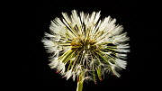 Timelapse of a Common dandelion (Taraxacum officinale) seed head opening, UK. Controlled conditions. - John Waters