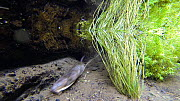 Water vole (Arvicola amphibius) swimming underwater, dragging nesting material back to its burrow, Kent, England, UK. October.  -  Terry  Whittaker
