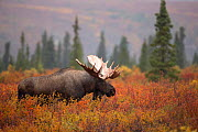 Moose Bull (Alces alces) walking in forest clearing, Denali National Park, USA, September - Danny Green