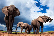 African elephants (Loxodonta africana) feeding on loose soil for its minerals, Maasai Mara National Reserve, Kenya. Taken with remote wide angle camera. - Anup Shah