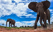African elephant (Loxodonta africana) approaching camera with curiosity, Maasai Mara National Reserve, Kenya. Taken with remote wide angle camera. - Anup Shah