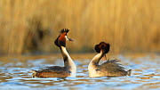 Pair of Great crested grebes (Podiceps cristatus) courting, Cardiff, Wales, UK, March.  -  Andy Rouse