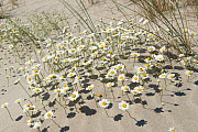 Sea chamomile (Anthemis maritima) in sand dunes, Camargue, France, May. - Jean E. Roche