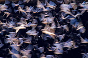 Mexican free-tailed bats (Tadarida brasiliensis) emerging from Bracken Cave, Texas. Over 15 million bats are thought to live in this cave, making it the greatest concentration of mammals on the planet... - Huw Cordey