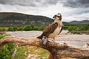 Osprey (Pandion haliaetus) perching on branch with fish, river and hills in background, Glenfeshie, Cairngorms National Park, Scotland, UK, August 2015. Highly commended in the Habitat Category of the...