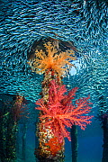 Soft corals (Dendronephthya hemprichi) growing in very shallow water in the shade provided by a jetty, while a school of Silversides (Atherinomorus lacunosus) circle. Berenice Jetty, Aqaba, Jordan. Gu...  -  Alex Mustard