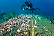 A diver (Eleonora Manca) examines a coral propagation table with cuttings of (Stylophora sp) Aqaba, Jordan. Gulf of Aqaba, Red Sea. Model Released  -  Alex Mustard