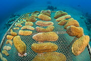 Wide angle view of coral propagation table with mushroom corals (Herpolitha limax) Aqaba, Jordan. Gulf of Aqaba, Red Sea.  -  Alex Mustard