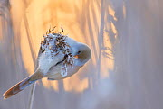 Bearded reedling (Panurus biarmicus) female feeding on reed seeds covered in frost, Espoo, Finland, January.