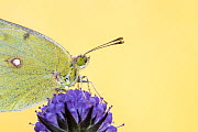 RF - Clouded yellow butterfly (Colias crocea) on devil's bit scabious (Succisa pratensis). Dunsdon Nature Reserve, Devon, UK. August 2014. (This image may be licensed either as rights managed or royal... - Ross Hoddinott