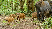 Two Wild boar (Sus scrofa) feeding in woodland with piglets, Forest of Dean, Gloucestershire, England, UK, May. - Luke Massey