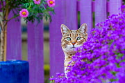 Tabby cat in garden with Aubrieta flowers, France. - Klein & Hubert